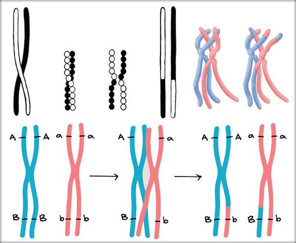 Recombinarea genetică intercromozomală