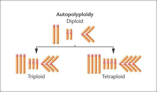 Autopoliploidia