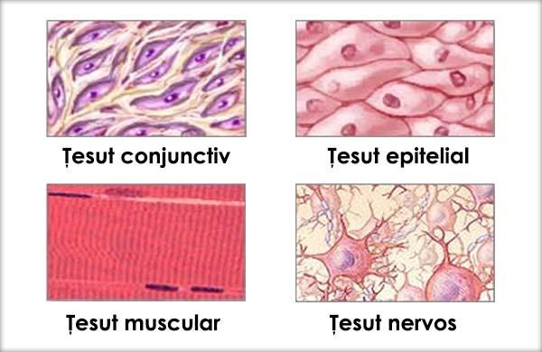 Ţesuturi animale, Ţesuturi epiteliale, Ţesuturi conjunctive