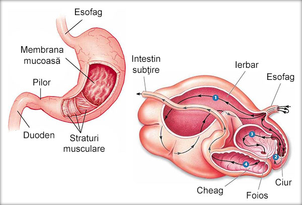 Stomac unicameral, Stomac tetracameral