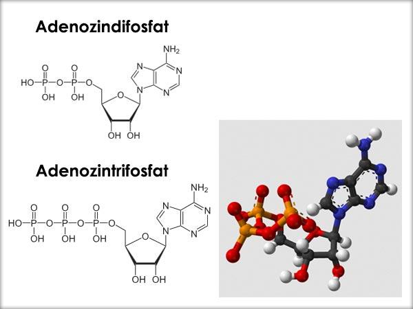 Adenozindifosfat (ADP), Adenozintrifosfat (ATP)