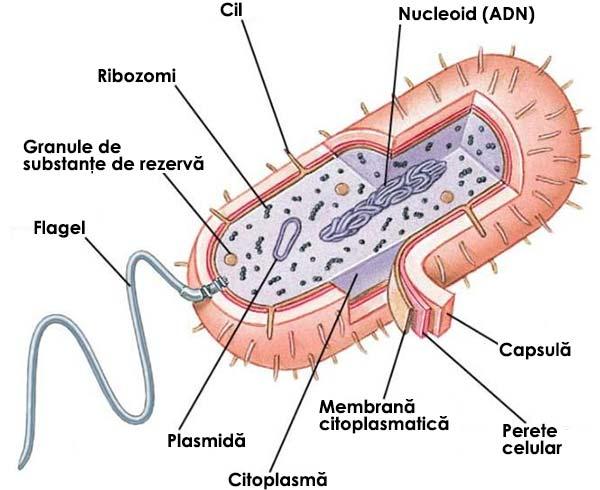 Structura celulei procariote