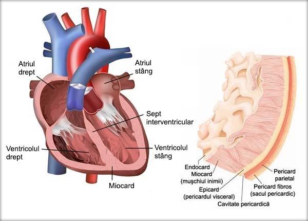 Inima, Endocardul, Miocardul, Epicardul, Pericardul