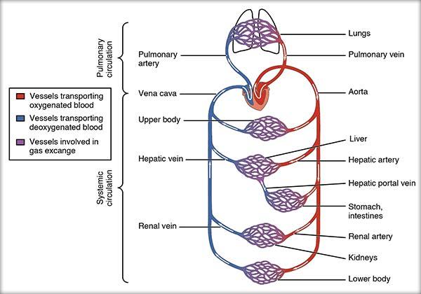 Circulaţia sângelui prin vase, Circulaţia mare, Circuaţia mică, Factorii care influenţează circulaţia sângelui