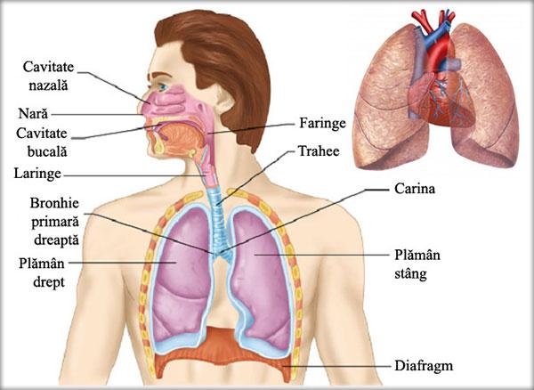 Sistemul respirator, Căile respiratorii, Plămânii