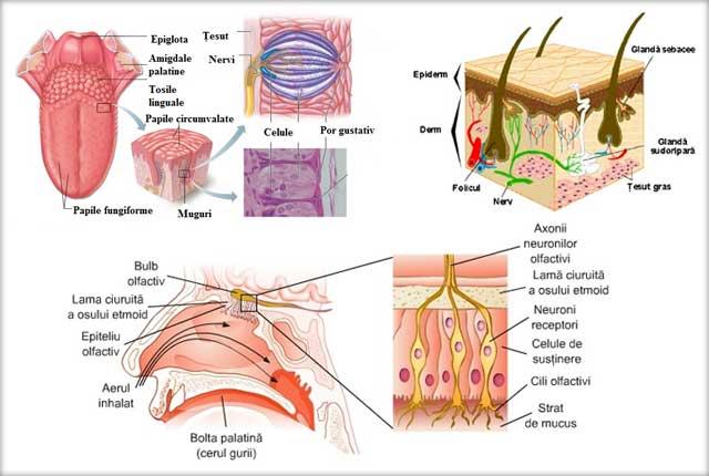 Pielea - organ de simţ, Simţul gustului - limba, Simţul mirosului - mucoasa olfactivă
