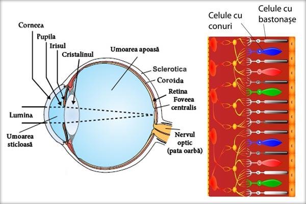 Ochiul Retina Pata Galbenă Foveea Centralis Coroida Irisul Pupila Cristalinul Sclerotica