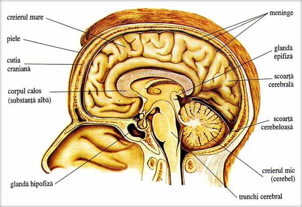 Creierul (Encefalul), Trunchiul cerebral, Cerebelul, Diencefalul, Emisferele cerebrale
