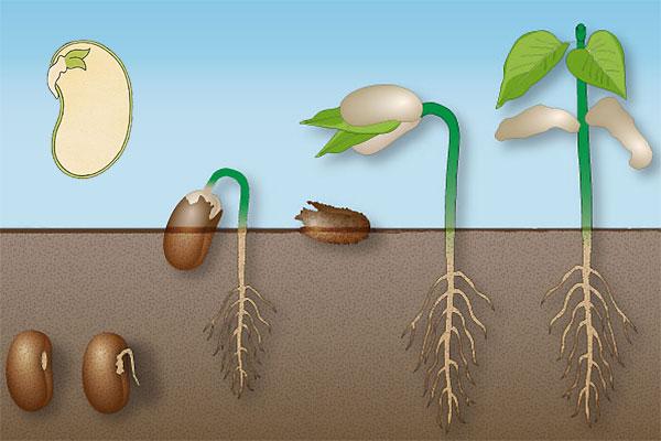 Germinaţia, Factorii care influenţează germinaţia, Condiţiile interne, Condiţiile externe