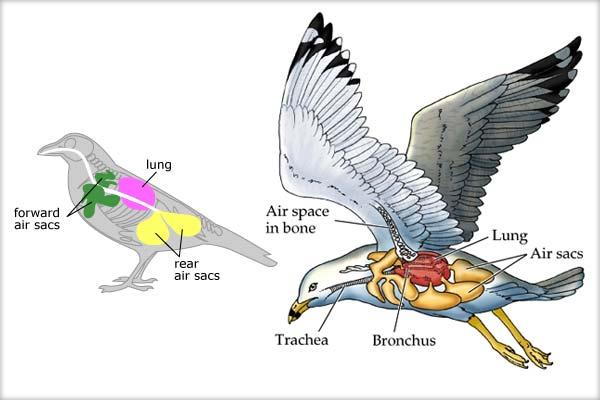 Particularităţi structurale şi funcţionale ale sistemului respirator (amfibieni, reptile, păsări)