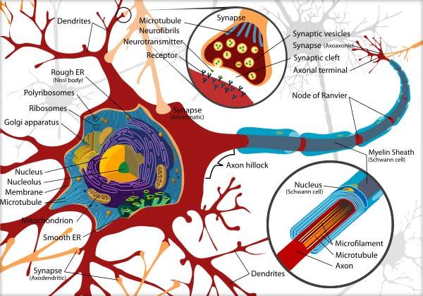 Ţesutul nervos, Neuronul, Alcătuirea neuronului (pericarionul, dendritele, axonul)