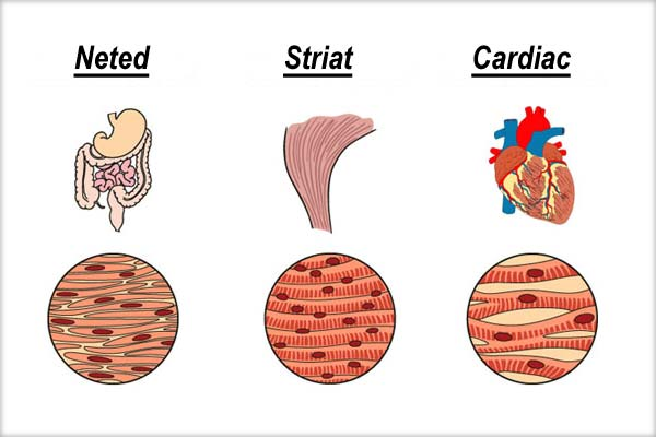 Tesut-neted-striat-cardiac