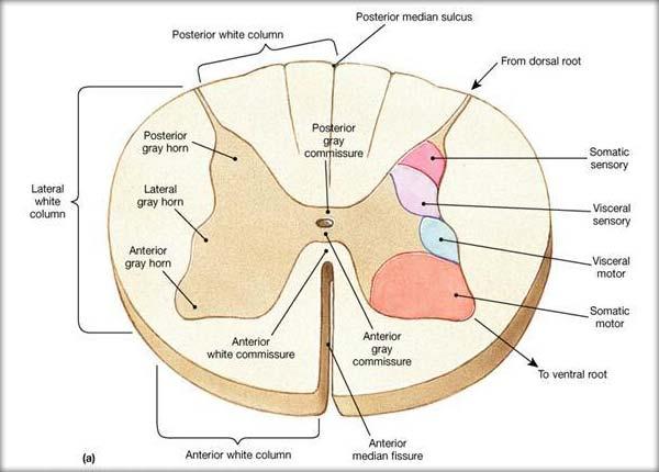 Măduva spinării (localizare, configuraţia externă, structura internă, substanţa cenuşie, substanţa albă)