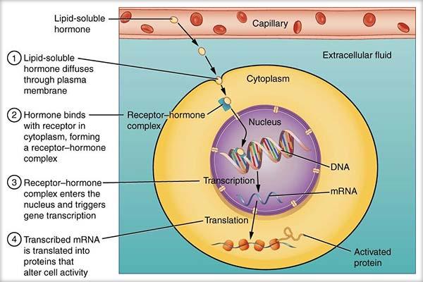 Acţiunea hormonilor la nivel celular