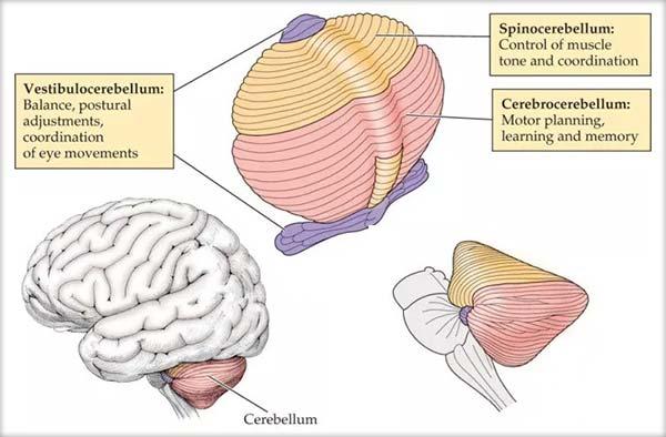 Cerebelul (creierul mic), Funcţiile cerebelului, Extirparea cerebelului