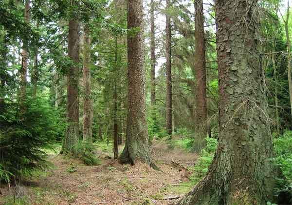 Mediul pădurilor de conifere (clima, solurile, speciile vegetale şi animale, impactul antropic)
