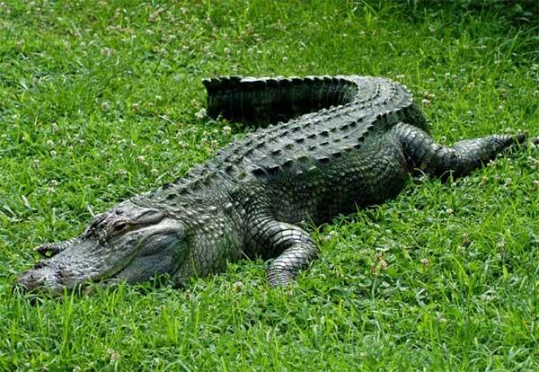 Aligatorul de Mississippi