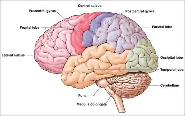 Emisferele cerebrale, Ganglionii bazali