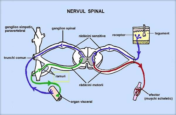 Nervul-spinal