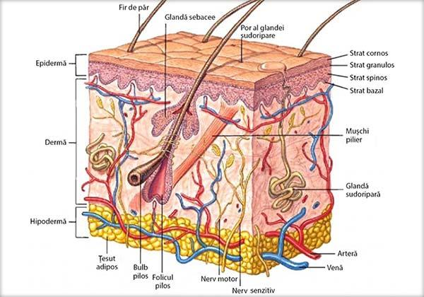 Analizatorul cutanat, Segmentul periferic, Receptorii, Calea de conducere, Segmentul central