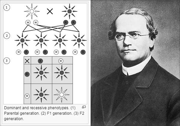 Genetica, Ereditatea, Variabilitatea, Gregor Mendel - Teoria factorilor ereditari
