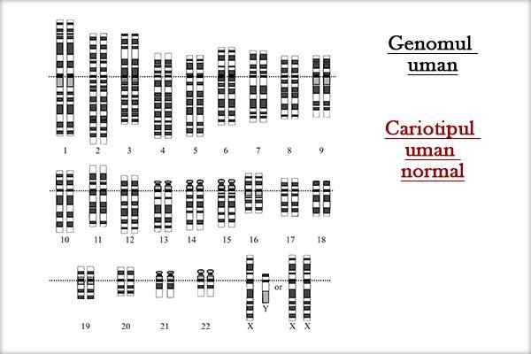 Genomul uman - Cariotipul uman normal